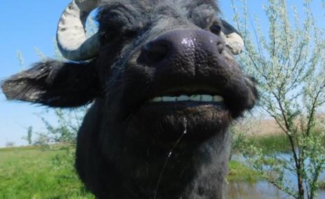 В гости к буйволам