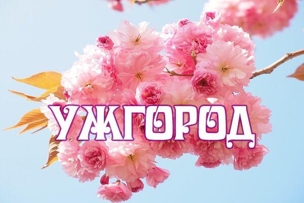 сакура ужгородская